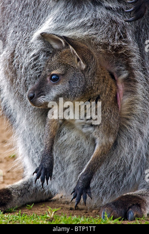 Baby Bennett's Wallaby in mother's pouch - Stock Photo