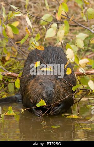 American Beaver Castor canadensis gathering food Autumn North America - Stock Photo