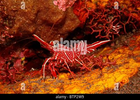 Hinge-beak prawn, or Durban Shrimp, Rhynchocinetes durbanensis. Tulamben, Bali, Indonesia. Bali Sea, Indian Ocean - Stock Photo