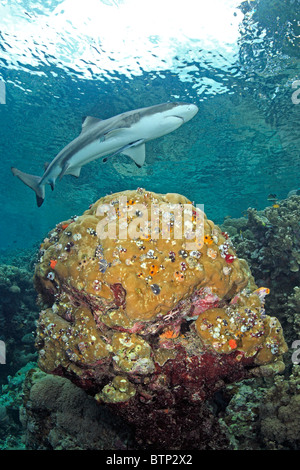 Blacktip reef shark, Carcharhinus melanopterus, swimming on shallow reef over a coral head which is full of Christmas - Stock Photo
