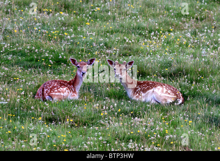 UK Britain Two young Fallow deer lying in meadow - Stock Photo