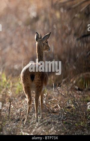 Oribi Antelope - Stock Photo
