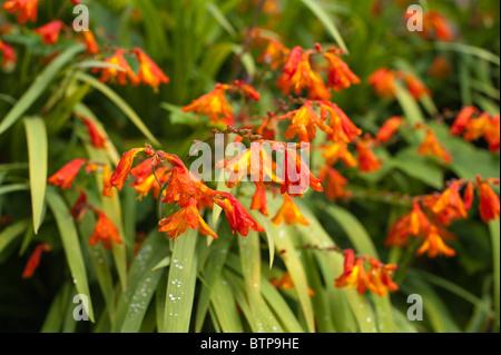 montbretia Crocosmia perennial genusiris family Iridaceae native to grasslands of Cape Floristic Region South Africa - Stock Photo