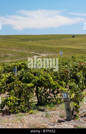 Australia, South Australia, Fleurieu Peninsula, Mclaren Vale, View of vineyard - Stock Photo
