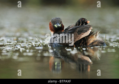 Little Grebe (Tachybaptus ruficollis) carrying their chick on their back. - Stock Photo