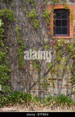 Australia, South Australia, Clare Valley, Clare, Window with creeper - Stock Photo