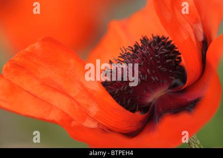 Single Red oriental poppy flowerhead - Stock Photo
