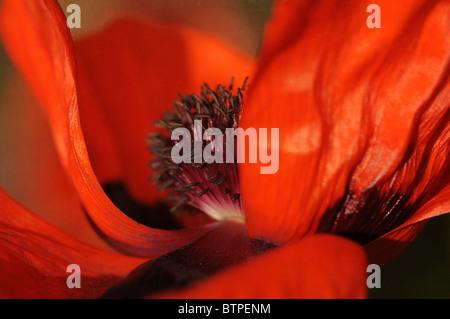 Single red oriental poppy - Stock Photo