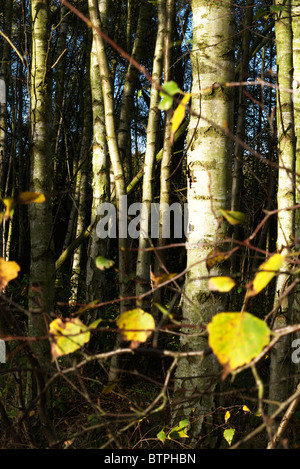 The last of the leaves from the silver birch tree - Stock Photo