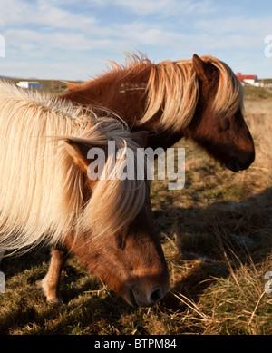 Icelandic horses, Iceland. - Stock Photo