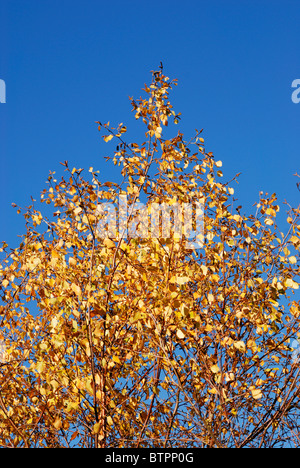 Golden autumn foliage of Silver Birch Trees in Autumn. - Stock Photo