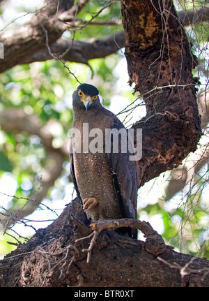 Crested serpent eagle perched on a tree in Ranthambhore National Park, Rajasthan, India - Stock Photo