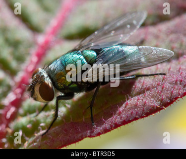 Common green bottle fly (Lucilia sericata) on a pink leaf - Stock Photo