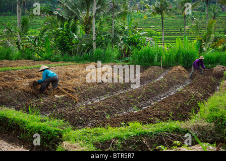 Two asian people working in their ricefield - Stock Photo
