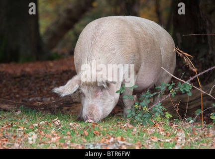 Wild Pig in the New Forest, Hampshire, England - Stock Photo