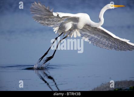 A great egret (Ardea alba) takes off in Elkhorn Slough - Moss Landing, California. - Stock Photo