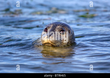 A harbor seal (Phoca vitulina) pops its head above water in Elkhorn Slough - Moss Landing, California. - Stock Photo