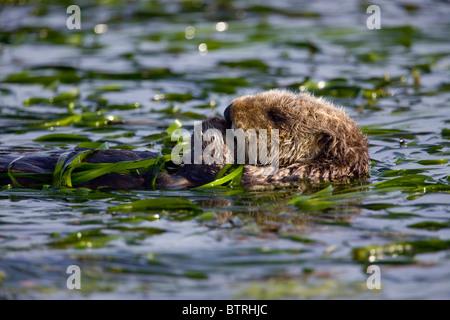 A sea otter swims through an eel grass bed in Elkhorn Slough - Moss Landing, California. - Stock Photo