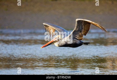 A brown pelican (Pelecanus occidentalis) glides over the waters of Elkhorn Slough in Moss Landing, California. - Stock Photo