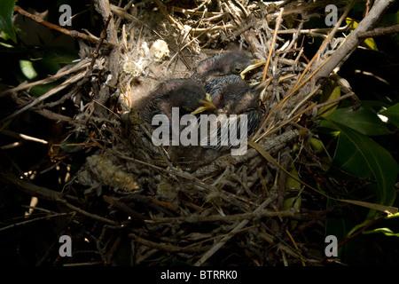 Three Very Young Northern Mockingbird Chicks in Nest - Stock Photo