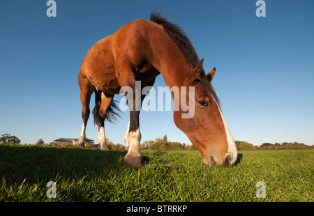 Pony grazing in field, low angle - Stock Photo
