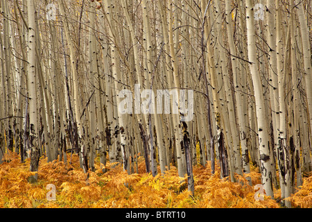 Grove of aspen trees with understory of ferns, autumn on the San Francisco Peaks, Coconino National Forest, USA
