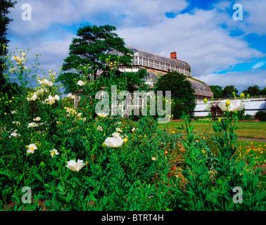 ... Palm House, Irish National Botanic Gardens, Co Dublin, Ireland; Romneya  Coulteri With