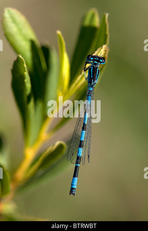 Male Southern Damselfly Coenagrion mercuriale, New Forest, England - Stock Photo