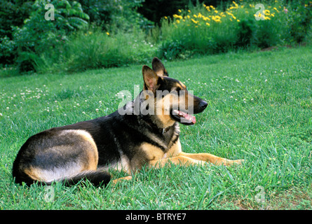 German Shepherd dog lying in grass and clover on summer evening in the back yard, USA - Stock Photo
