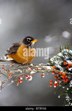 Robin, Turdus migratorius, perches on branch of red holly berries in winter snow and ice - Stock Photo