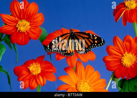 Monarch butterfly (Danaus plexippus) rests on bright orange Tithonia flower - Stock Photo