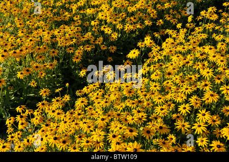 Orange cone flower (Rudbeckia fulgida 'Goldsturm') - Stock Photo