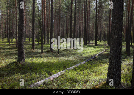 Young Finnish pine ( pinus sylvestris ) forest on dry esker based soil , undergrowth mainly of blueberry shrubs - Stock Photo