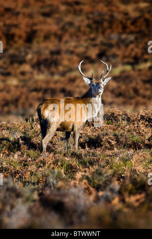 Young Red Deer Stag in moorland - Stock Photo