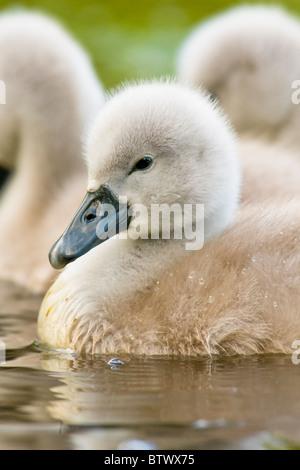 Mute Swan cygnet portrait - Stock Photo