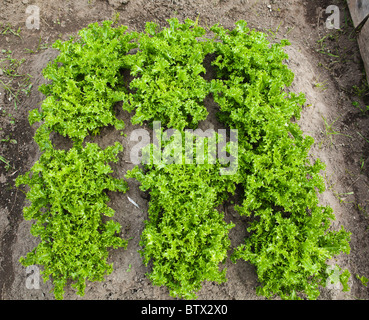 Plot of endive in a small vegetable garden - Stock Photo