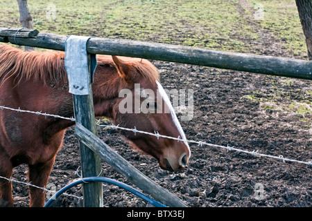 Horses grazing and drinking in a valley near Riardo, Caserta, Campania, Italy - Stock Photo
