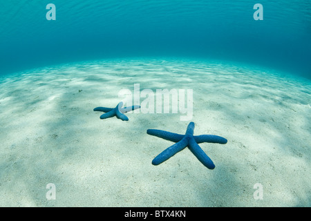 Two seastars, Linkia laevigata, lie on the white sand bottom of a shallow bay in the Lesser Sunda Islands of Indonesia. - Stock Photo