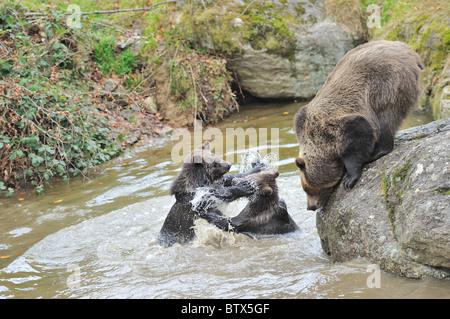 European brown bear - Eurasian brown bear (Ursus arctos arctos) Two big cubs playfighting in water near their mother - Stock Photo