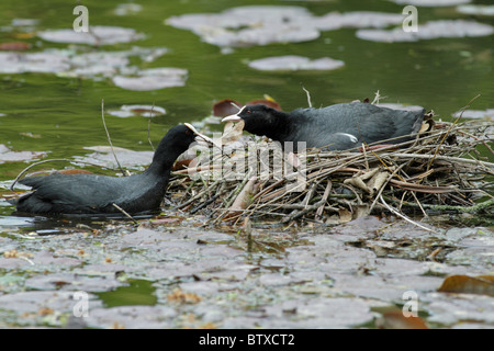 Coot (Fulica atra), pair building nest on pond, Germany - Stock Photo