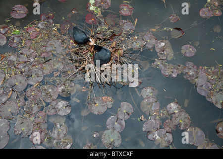 Coot (Fulica atra), pair at nest amongst water lilies, Germany - Stock Photo