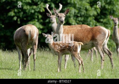 Red Deer (Cervus elaphus), hind with calf, Germany - Stock Photo