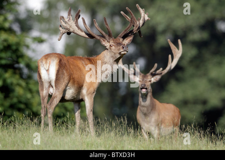 Red Deer (Cervus elaphus), two stags, Germany - Stock Photo