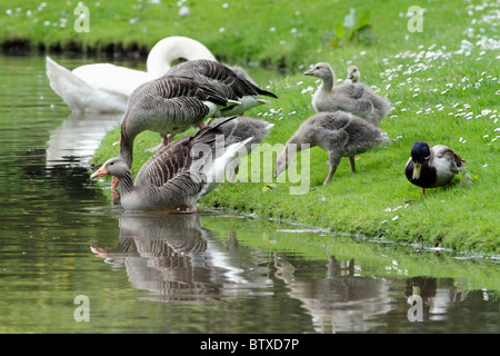 Greylag Goose /Anser anser), parent birds leading goslings to water, Germany - Stock Photo
