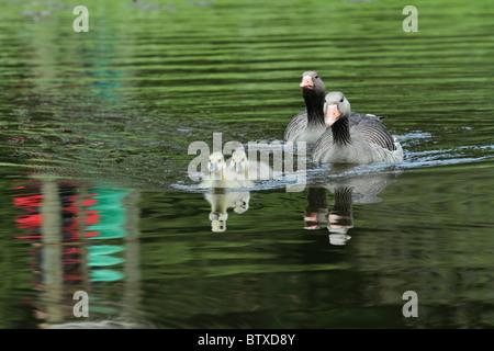 Greylag Goose (Anser anser), parent birds on lake with goslings, Germany - Stock Photo