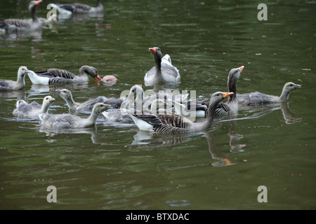 Greylag Goose (Anser anser), parent birds with goslings swimming on lake, Germany - Stock Photo