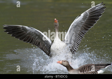 Greylag Goose (Anser anser), gander displaying excitedly to female during breeding season, Germany - Stock Photo