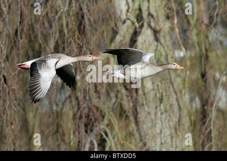 Greylag Goose (Anser anser), to birds in flight, Germany - Stock Photo