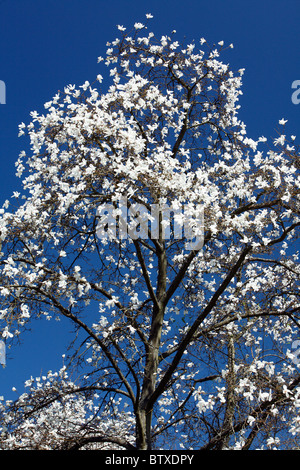 Magnolia tree (Magnolia sp.) flowering in park with white blossom, springtime, Germany - Stock Photo