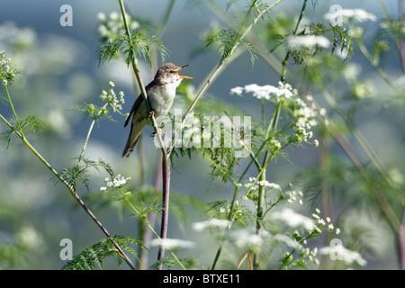 Marsh Warbler (Acrocephalus palustris) singing from flowering hemlock plant, Germany - Stock Photo